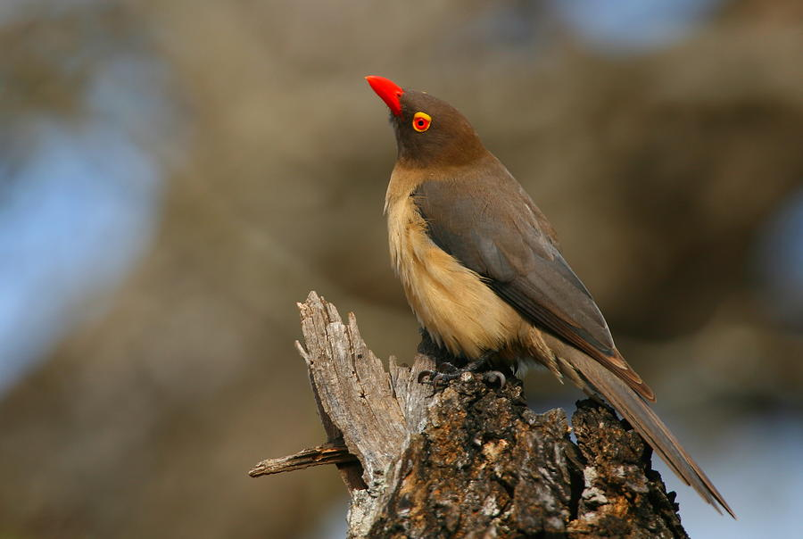 Red Billed Oxpecker Photograph By Bruce J Robinson