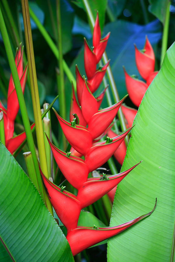 Red Bird Of Paradise Photograph  - Red Bird Of Paradise Fine Art Print