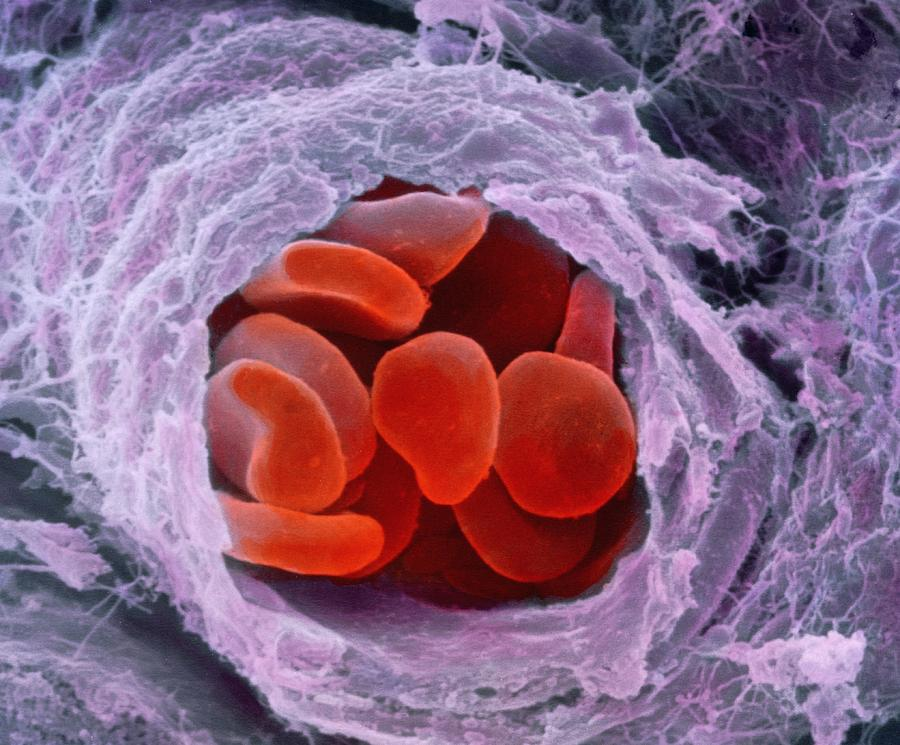Red Blood Cells Photograph