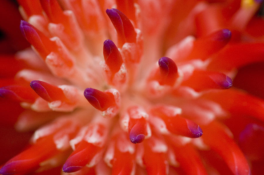 Red Bromeliad Photograph  - Red Bromeliad Fine Art Print