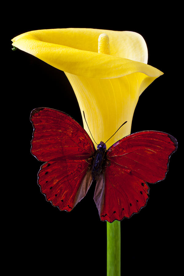 Red Butterfly And Calla Lily Photograph