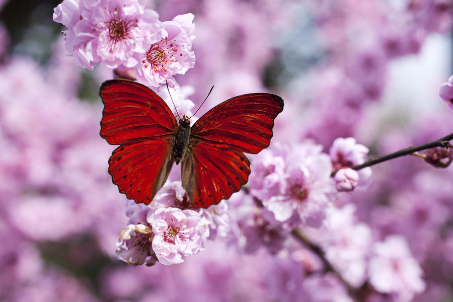 Red Butterfly On Plum  Blossom Branch Photograph  - Red Butterfly On Plum  Blossom Branch Fine Art Print