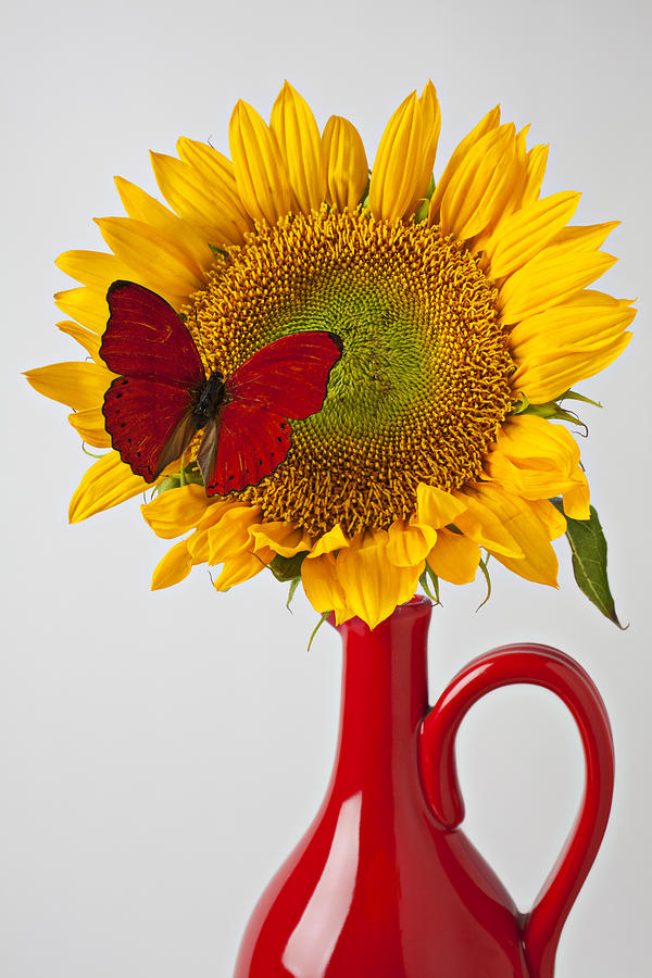 Red Butterfly On Sunflower On Red Pitcher Photograph