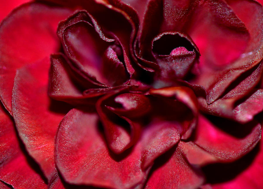 Red Carnation With Heart Photograph