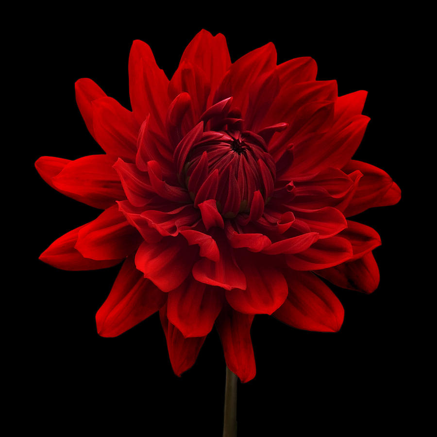Dahlia Flower Black Background Photograph - Red Dahlia Flower Black ...