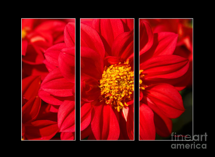 Red Dahlia Triptych Photograph