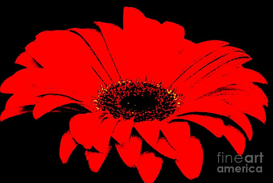 Red Daisy On Black Background Photograph