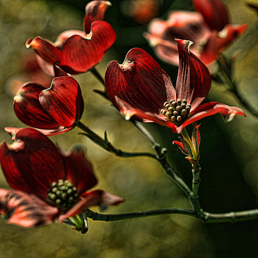 Red Dogwood Photograph  - Red Dogwood Fine Art Print