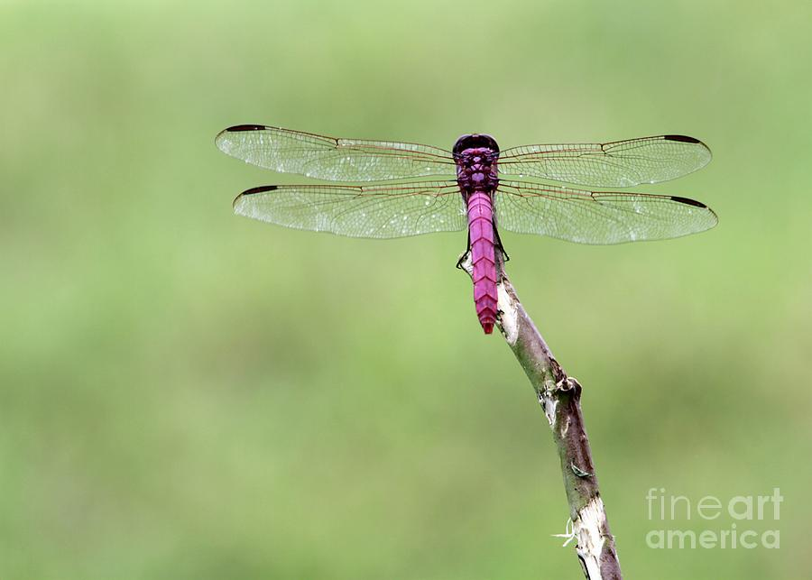 Dragonfly Photograph - Red Dragonfly Dancer by Sabrina L Ryan