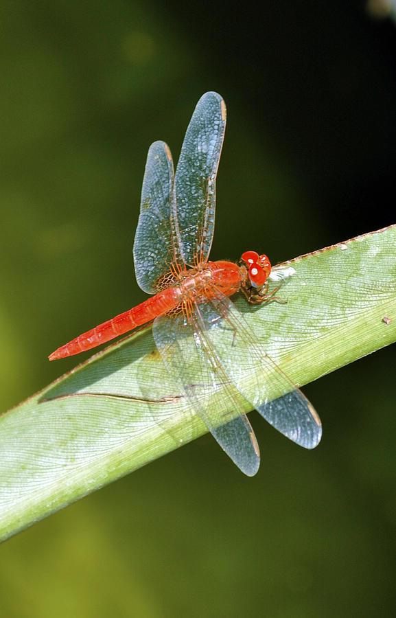Red Dragonfly Photograph  - Red Dragonfly Fine Art Print