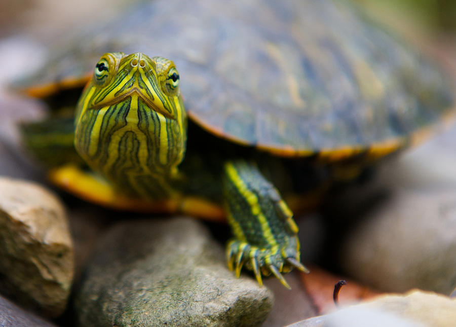 how to take care of baby red ear slider turtles