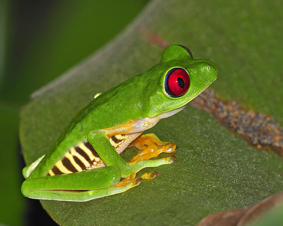Red-eyed Leaf Frog Photograph