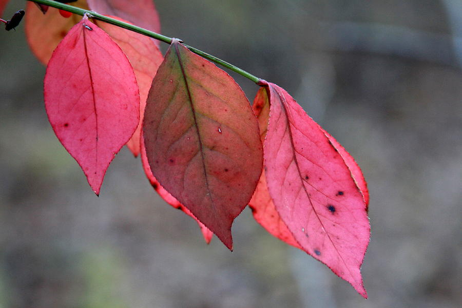 Red Fall Leaf  Photograph  - Red Fall Leaf  Fine Art Print