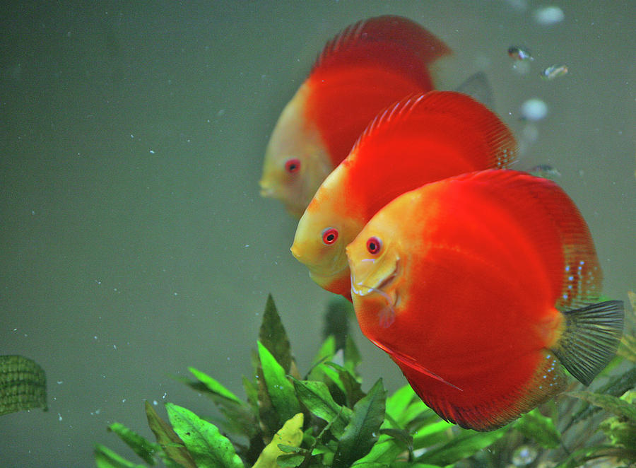 Red Fish Photograph