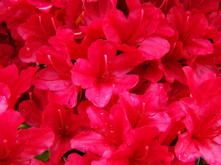 Red Floral Art Prints Rhododendron Flowers Rhodies Photograph