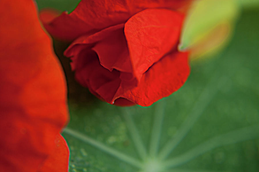 Red Flower Photograph  - Red Flower Fine Art Print