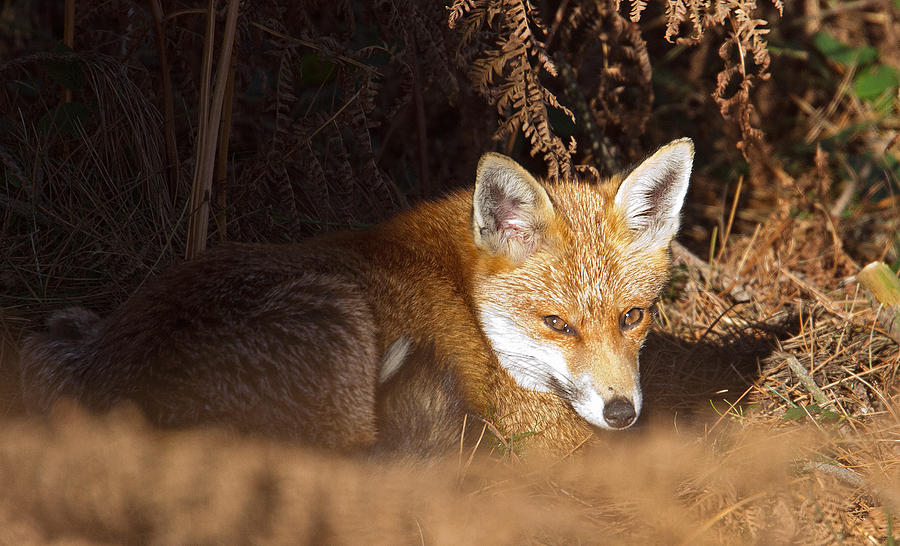 Red Fox Photograph