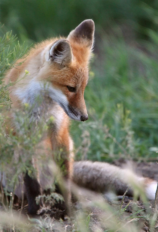 Red Fox Pup Outside Its Den Digital Art  - Red Fox Pup Outside Its Den Fine Art Print