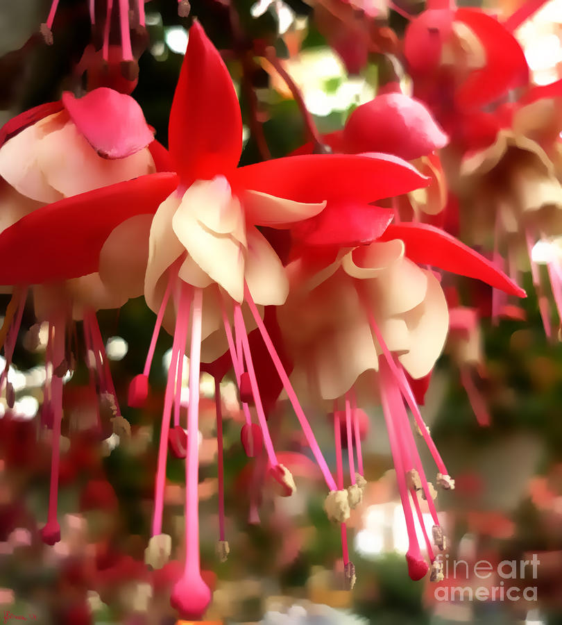 Red Fuschia Photograph  - Red Fuschia Fine Art Print
