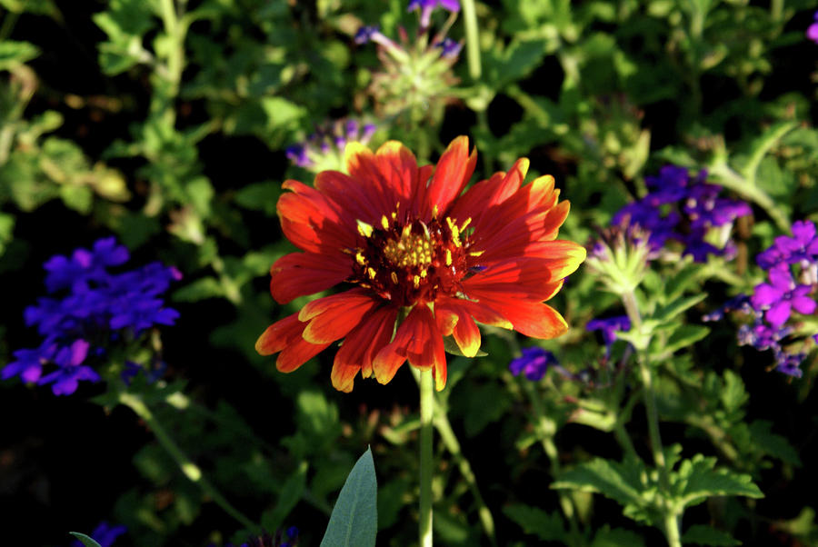Red Gaillardia Photograph  - Red Gaillardia Fine Art Print