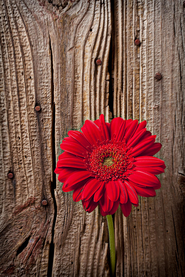 Red Gerbera Daisy With Wooden Wall Photograph