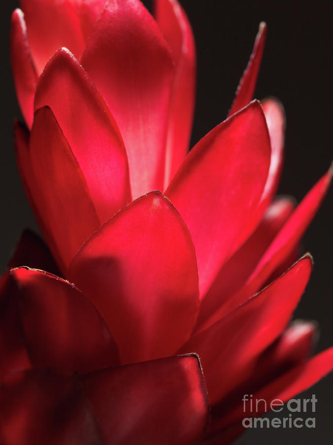 Red Ginger Alpinia Purpurata Flower Photograph  - Red Ginger Alpinia Purpurata Flower Fine Art Print