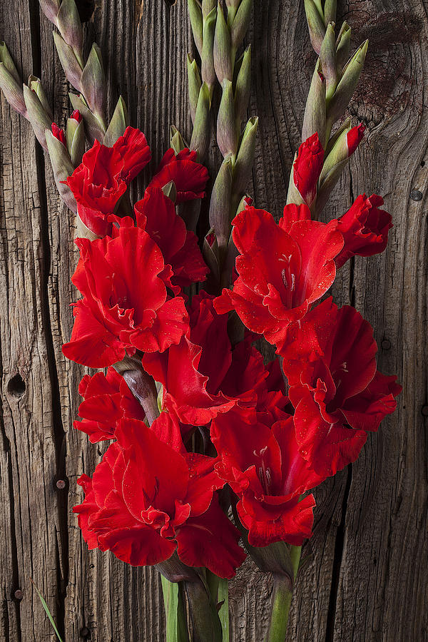 Red Gladiolus Photograph  - Red Gladiolus Fine Art Print
