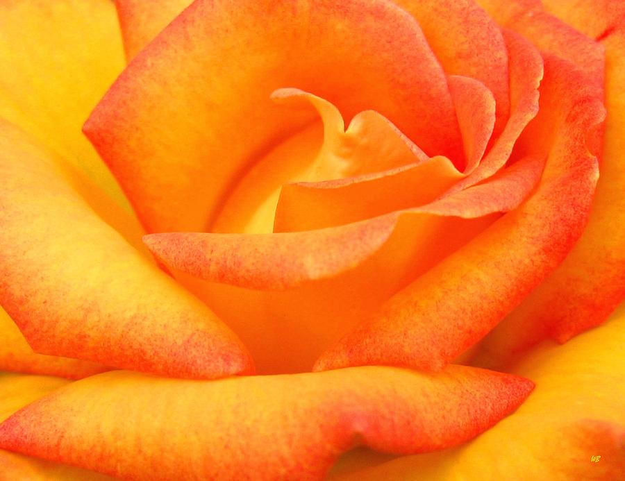 Red Gold Rose by Will Borden