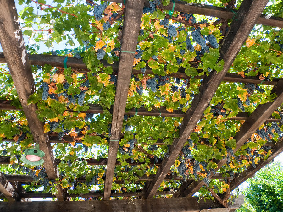Red Grapes Hanging From A Trellis Napa Valley California Photograph
