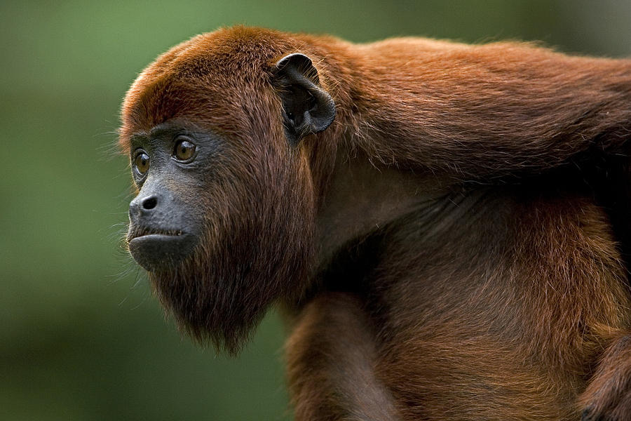 Alouatta Seniculus Red Howler Monkey Photograph