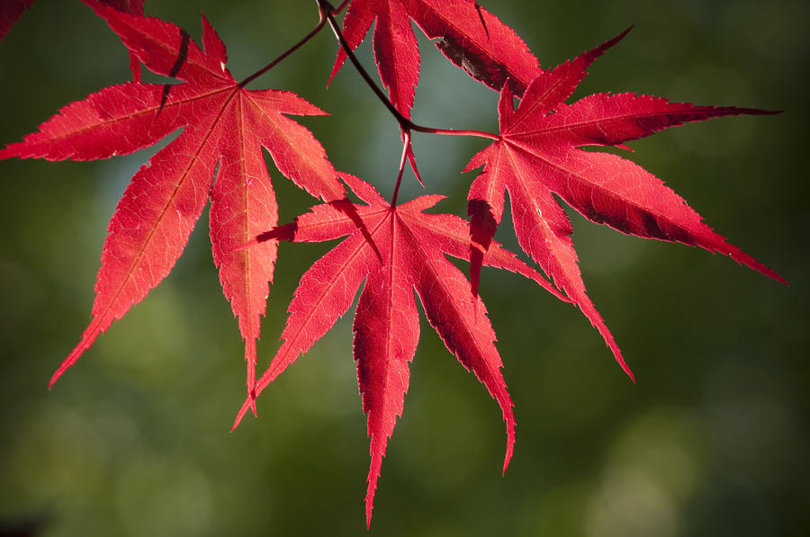 Red japanese maple leafs by chad davis Japanese maple leaf