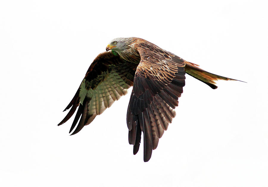 Horizontal Photograph - Red Kite In Flight by Grant Glendinning Photography