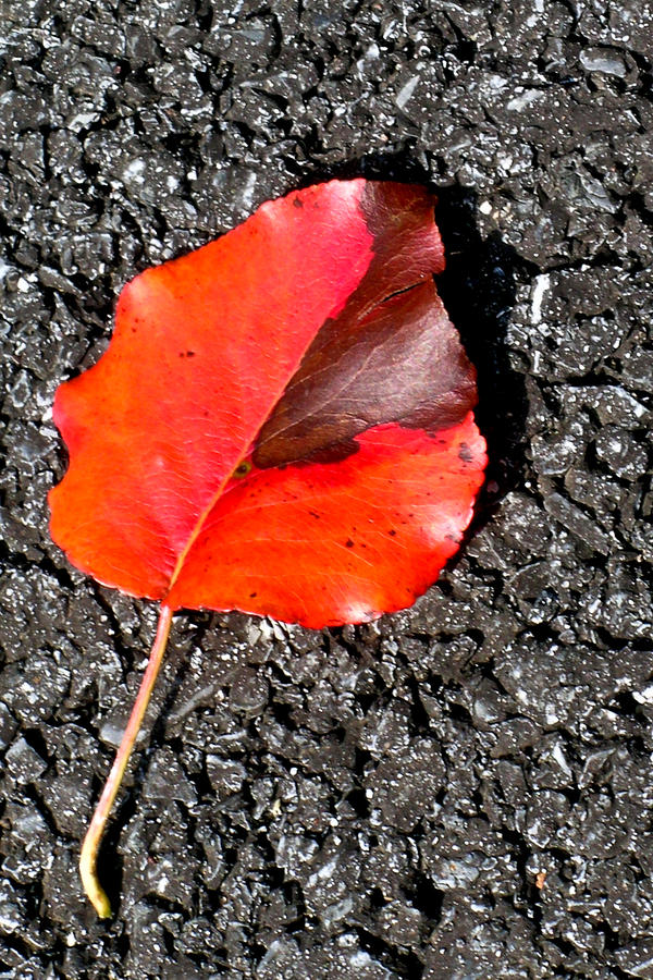 Red Leaf On Asphalt Photograph  - Red Leaf On Asphalt Fine Art Print