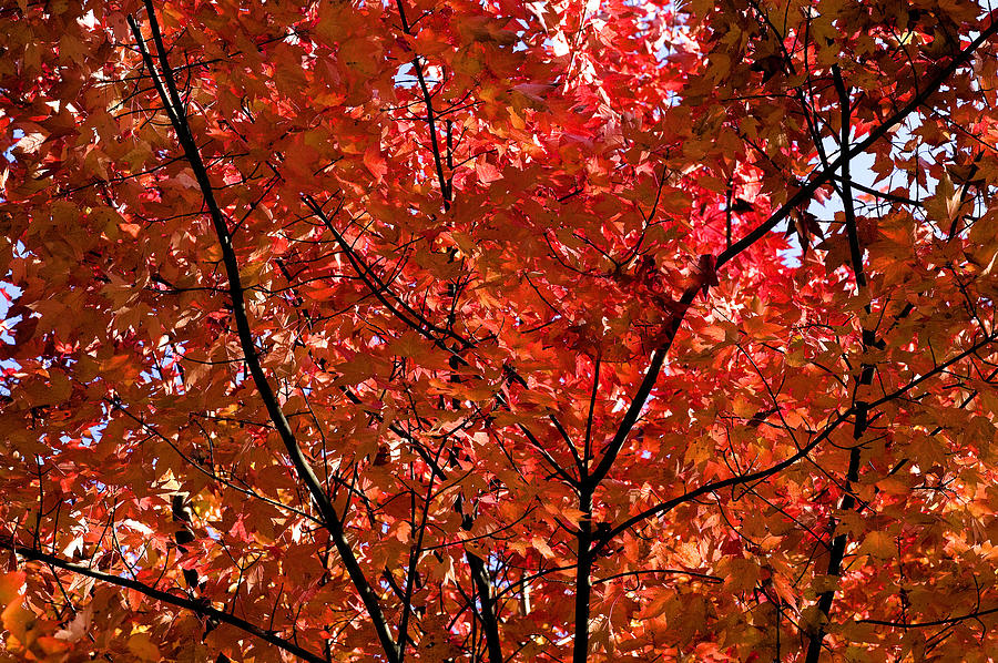 Red Leaves Black Branches Photograph