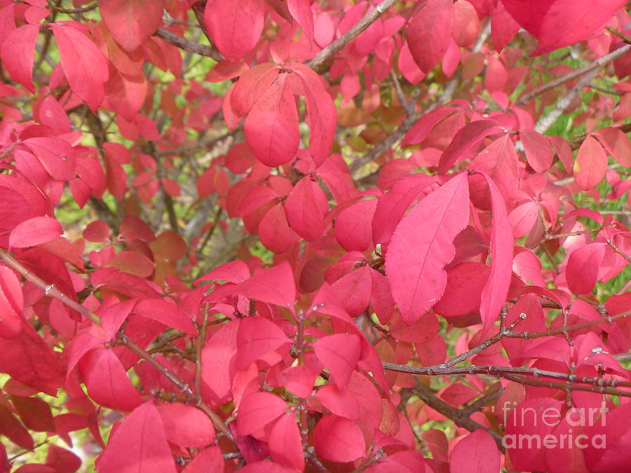 Red Leaves Photograph - Red Leaves IIi by Alys Caviness-Gober