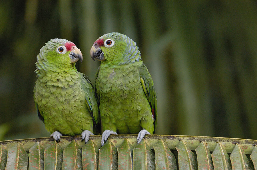 Red-lored Parrot Amazona Autumnalis is a photograph by Pete Oxford ...