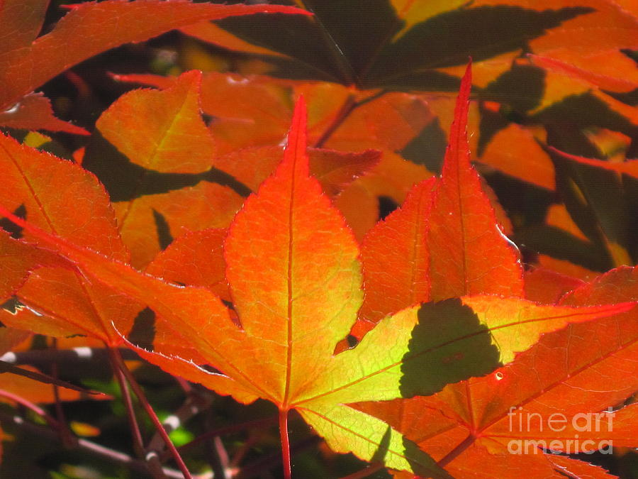 Red Maples Leaves Blazing In Fall Sun. Photograph  - Red Maples Leaves Blazing In Fall Sun. Fine Art Print