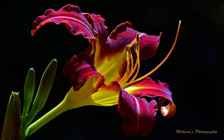Red Maroon Lily Photograph  - Red Maroon Lily Fine Art Print