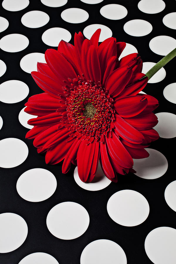 Red Mum With White Spots Photograph