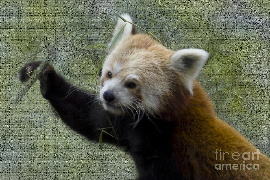 Nature Photograph - Red Panda by Heiko Koehrer-Wagner