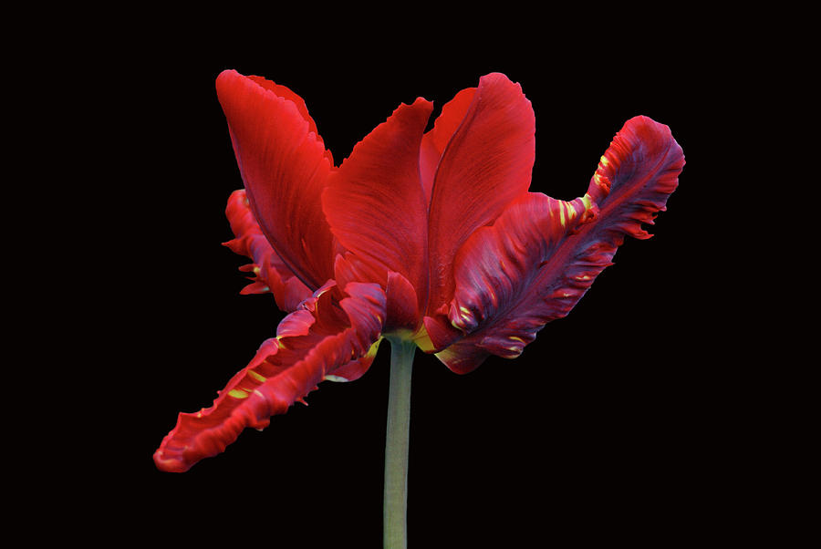 Red Parrot Tulip Photograph  - Red Parrot Tulip Fine Art Print
