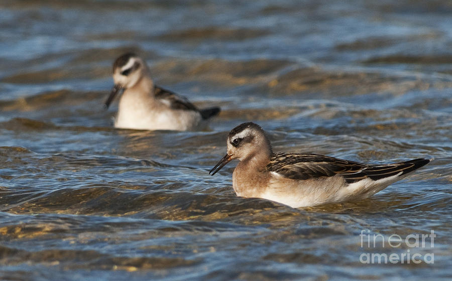Red Phalarope... Photograph