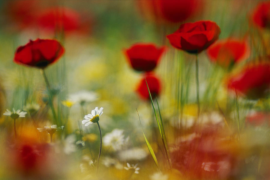 Red Poppies And Small Daisies Bloom Photograph