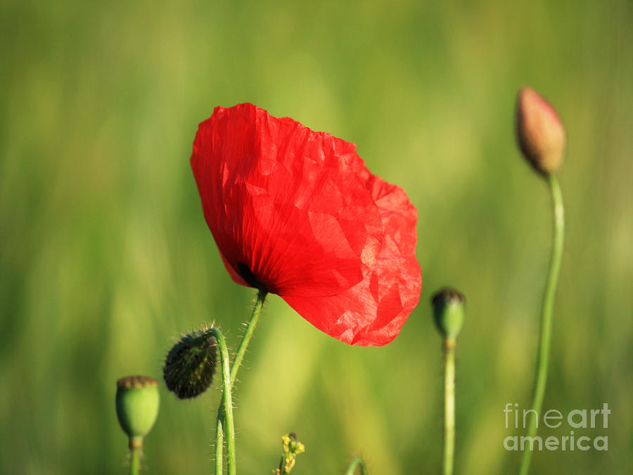 Red Poppy In Field Photograph
