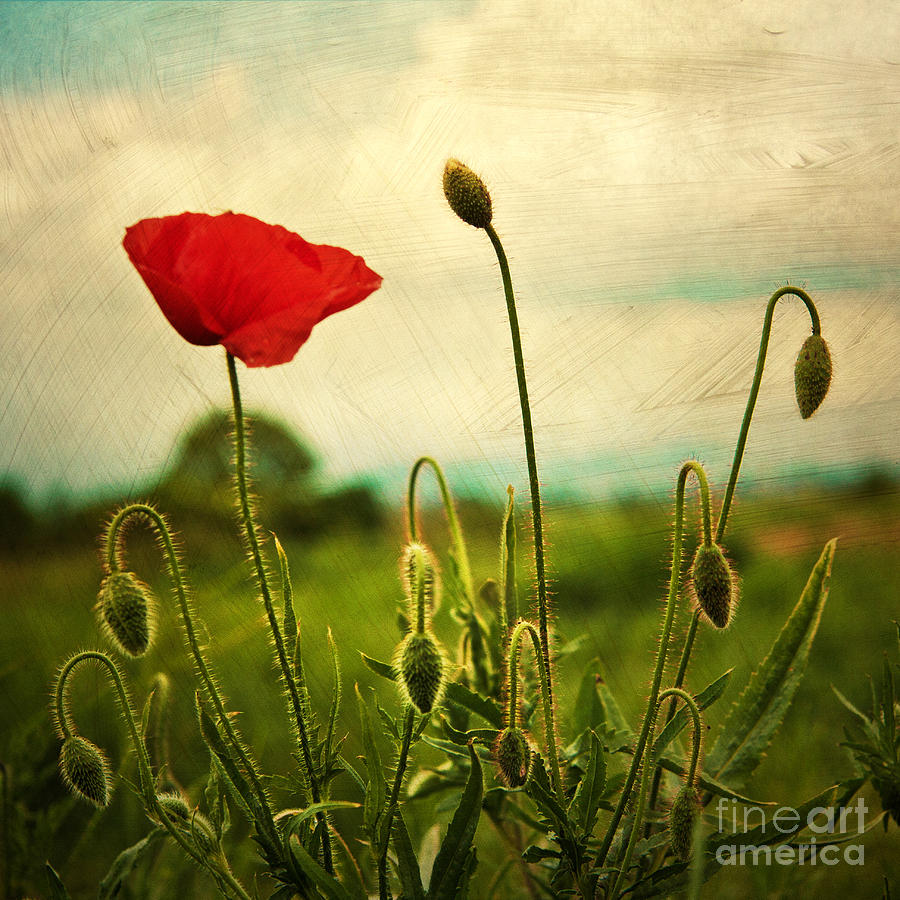 Red Poppy Photograph
