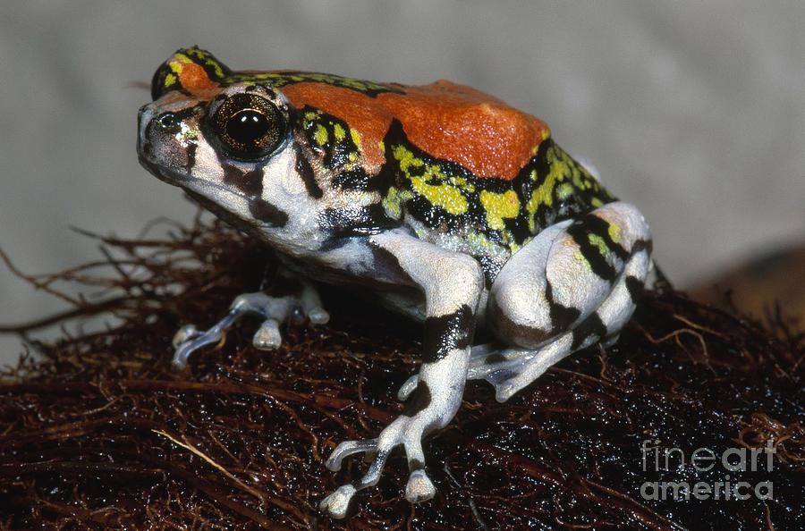 Red Rain Frog Photograph