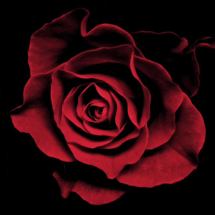 Red Rose II Photograph  - Red Rose II Fine Art Print