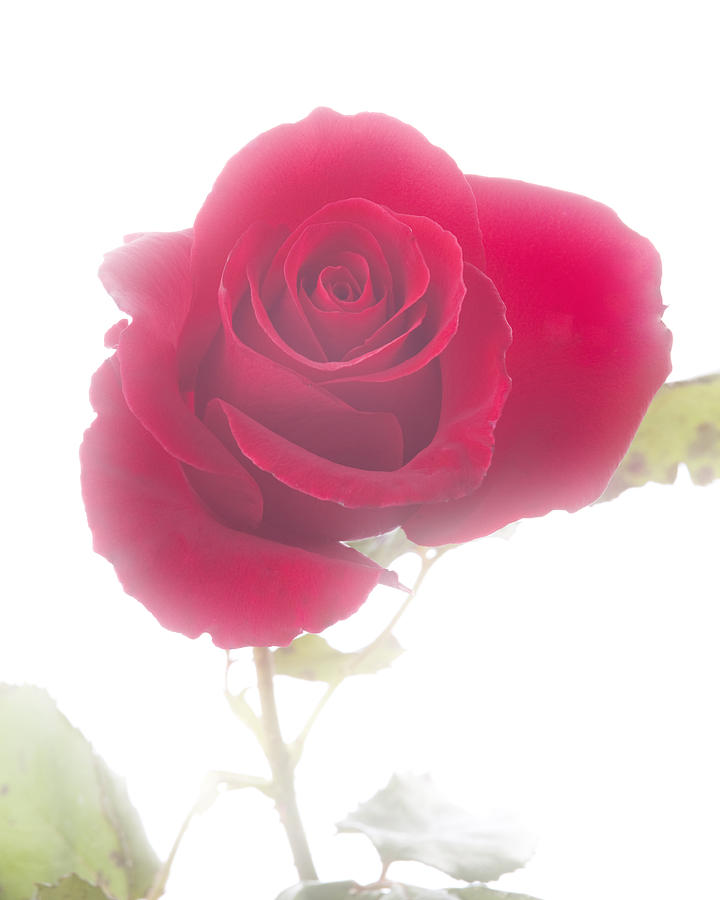 Red Rose Isolated On White Fog Photograph  - Red Rose Isolated On White Fog Fine Art Print