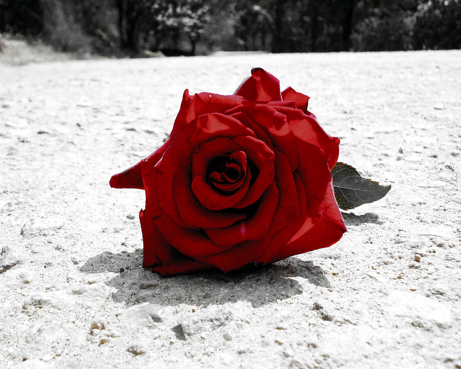 Red Rose On The Road Photograph