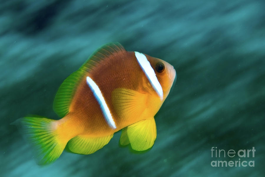 Red Sea Clownfish  Photograph  - Red Sea Clownfish  Fine Art Print